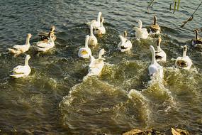 刚入水的大白鹅