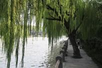 杭州小河直街水边垂柳与道路