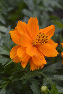 黄花波斯菊硫黄菊