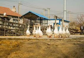 路上一群大白鹅