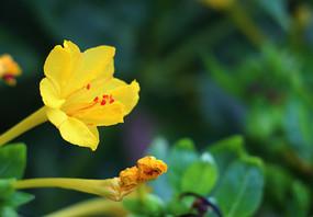 美丽的黄茉莉