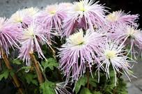 美丽开放的菊花