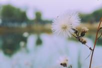 生长在河边的白色毛茸茸的花草
