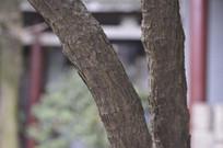 天目玉兰树的树干