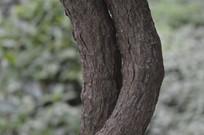 天目玉兰树木的树干
