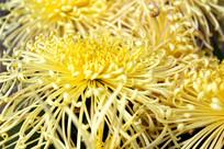 微距拍摄的黄色菊花