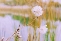 校园河边的毛茸茸的花草