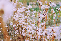 一丛白色的花草
