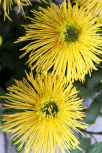 绽放的菊花