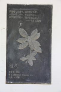 壁刻中药材桂树桂花
