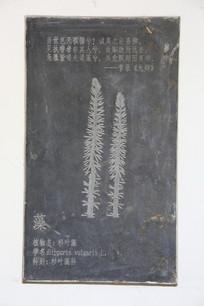 壁刻中药材杉叶藻