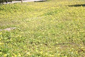 草坪里的黄色小花