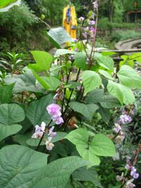 粉色的扁豆花