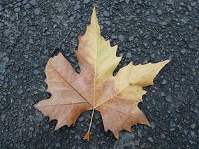 秋天梧桐树叶