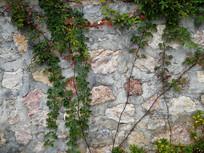 墙壁上的爬山虎