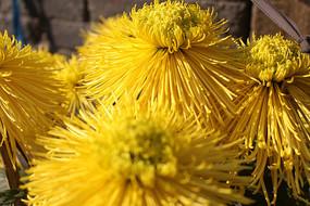 细丝状花色菊花