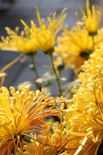 阳光下开放的菊花