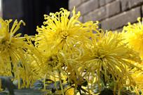 绽放的黄菊花