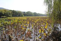 杭州湘湖荷塘风景