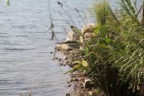 杭州湘湖水边草丛与石头
