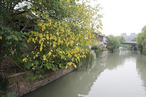 杭州小河直街河边大树