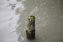 杭州运河水上树干
