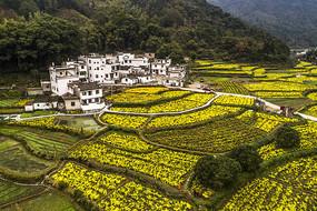 乡村种植黄菊花