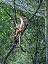 抓在铁丝网上的长尾猴