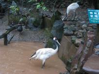 两只觅食的丹顶鹤