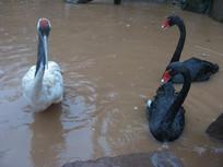水中的黑天鹅与丹顶鹤