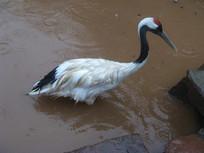 站在水中的丹顶鹤