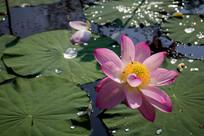 荷塘荷叶水珠蜜蜂花朵