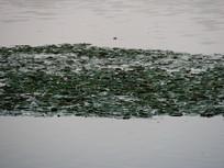 惠州西湖上的荷叶