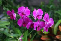 紫红色的蝴蝶兰