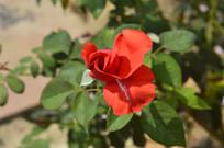 白云山云台花园红玫瑰