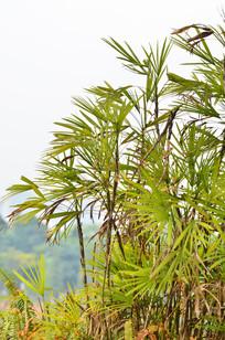 长叶子植物