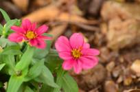 粉色野花花朵