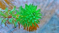 漂浮在水面的小绿植特写摄影