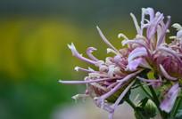 丝状花蕊菊花