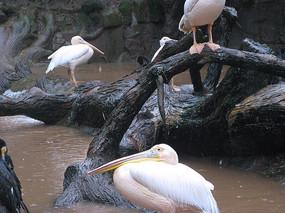 站在树杈上的白鹈鹕