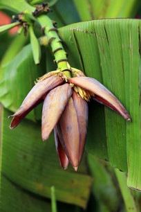 芭蕉树的花