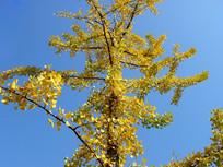 蓝天背景银杏树图片素材