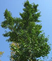 蓝天下的绿色银杏树