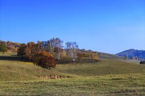秋季风光白桦树
