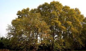 秋天的法桐树木