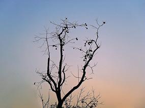 夕阳里的柿子树剪影