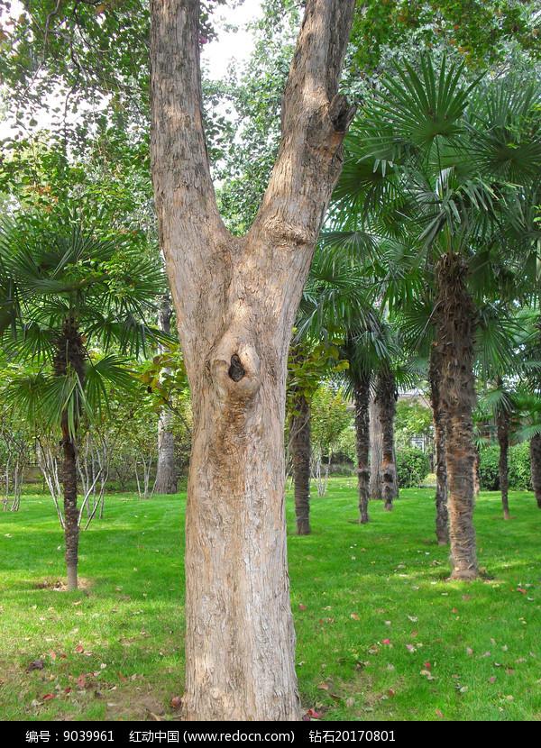 丫字形树干摄影图图片