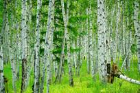 绿草白桦林