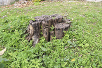 绿草地上的枯树桩