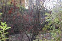 桥边的枫叶